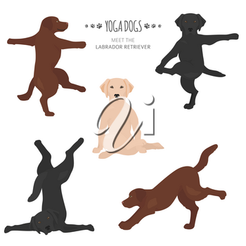 Yoga dogs poses and exercises. Labrador retriever clipart. Vector illustration