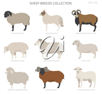 Sheep breeds collection 1. Farm animals set. Flat design. Vector illustration