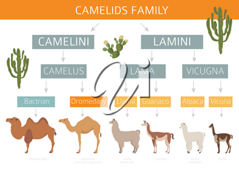 Camelids family collection. Camels and llama infographic design. Vector illustration