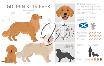 Golden retriever dogs in different poses and coat colors. Adult goldies and puppy set.  Vector illustration