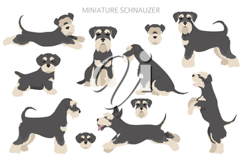 Miniature schnauzer dogs in different poses and coat colors. Adult and puppy set.  Vector illustration