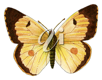 Royalty Free Clipart Image of a Clouded Yellow butterfly