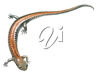 Royalty Free Clipart Image of a Red back Salamander