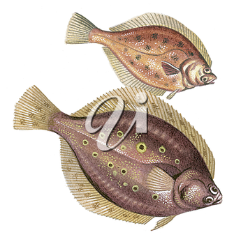 Royalty Free Clipart Image of a Plaice Flatfish and a Flounder Flatfish