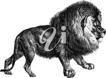 Royalty Free Clipart Image of a Liion