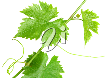 A branch of the vine isolated on white background