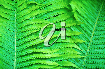 Fresh bright green fern leaves as a background.
