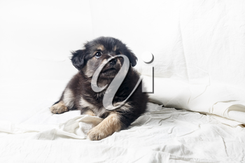 Adorable cute little puppy dog against a white sheet background.