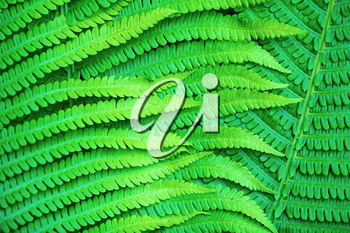Bright green leaves of a fern as a background.