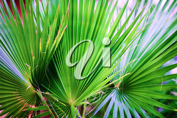 Close-up of green palm leaves. Palm leaves background. Shallow depth of field. Selective focus.
