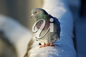 Pigeon sitting on the snow in winter. Urban dove. Shallow depth of field. Selective focus.