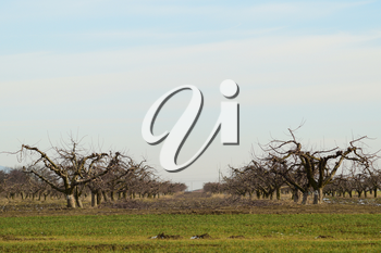 Cropped trees in the apple orchard. Care orchard, pruning trees.