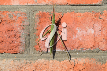 Green locusts, orthoptera insect. Ordinary locusts on a brick wall.
