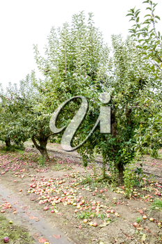 Apple orchard. Rows of trees and the fruit of the ground under the trees.