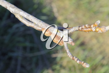 Ootheca mantis on the branches of a tree. The eggs of the insect laid in the cocoon for the winter are laid.