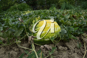 The growing water-melon in the field. Cultivation of melon cultures.