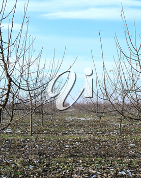 Young apple orchard. Growing and Caring for orchard of apple trees.