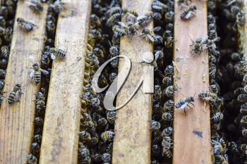 Open bee hive. Plank with honeycomb in the hive. The bees crawl along the hive. Honey bee