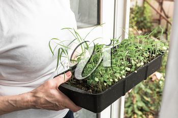 Senior woman holds a box with seedlings. Concept of old age, pensioner's hobby, growing herbs on a sill, balcony