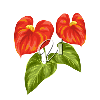 Bouquet of two decorative flowers anthurium on white background.