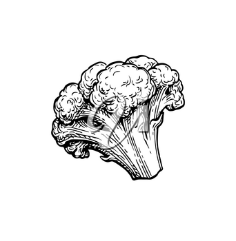 Cauliflower. Ink sketch isolated on white background. Hand drawn vector illustration. Retro style.