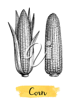 Cobs of corn. Ink sketch of maize isolated on white background. Hand drawn vector illustration. Retro style.