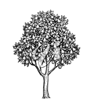 Pear tree. Ink sketch isolated on white background. Hand drawn vector illustration. Retro style.