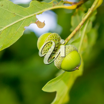 Two young green acorns on a branch against a background of green leaves.