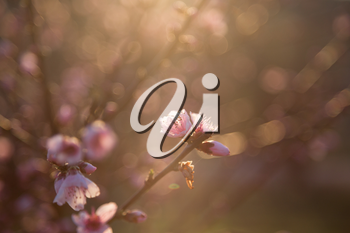 Blossom tree over nature background. Spring flowers. Spring Background. Beautiful flowering Japanese cherry - Sakura. Background with flowers on a spring day.