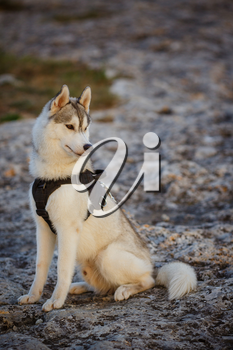 portrait of siberian husky. Handsome young male outdoors. Forest and mountains