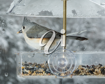 Tufted Titmouse bird in window attached birdfeeder on a wet cold day in winter