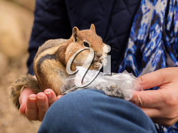 Cute tame and friendly chipmunk in hand of lady as she feeds him seeds and nuts from a plastic bag