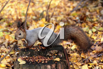 Common forest squirrel in the forest park.