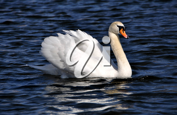 The swan floats on a reservoir.