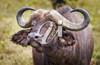 African buffalo. Africa hoofed animals, cows relative. Horned wild cattle