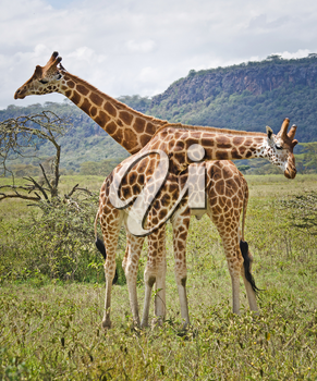Giraffe in the wild. An animal with a long neck. Wild world of the African savannah