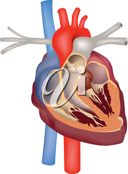 Heart anatomy medical sign. Human heart cross section structure