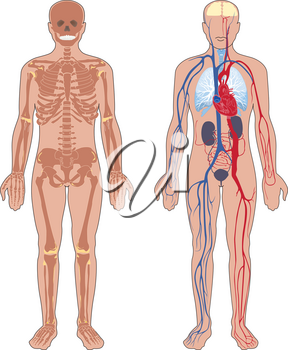 Human anatomy. Set of vector illustration isolated on white background. Human body structure: skeleton and circulatory vascular system.