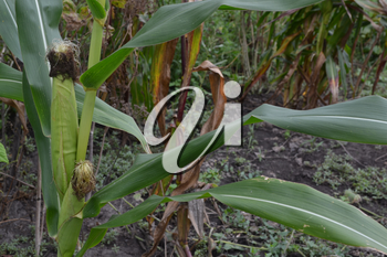 Corn. Zea mays subsp. mays. Corn grows in the garden. Flowers corn. Field. Garden. Agriculture. Close-up. Vertical photo