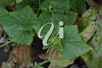 Cucumber. Cucumis sativus. cucumber leaves. Cucumber growing in the garden. Garden. Field. Cultivation of vegetables. Agriculture. Horizontal photo