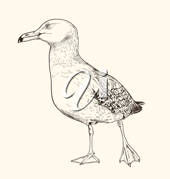 Hand drawn vector illustration of seagull. Vintage sketch of animal in the wild nature