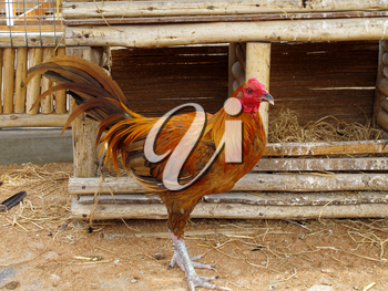 Rooster on farm