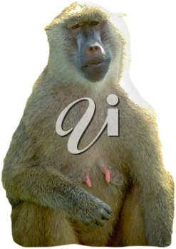 Royalty Free Photo of a Female Baboon
