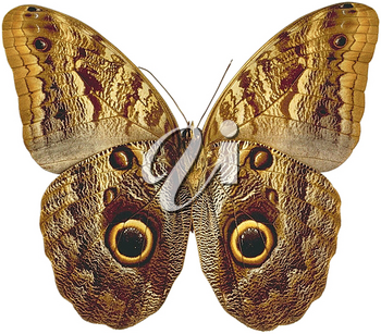 Royalty Free Photo of a Butterfly with the Wings Expanded