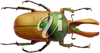 Royalty Free Photo of a Green and Brwon Beetle
