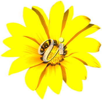 Royalty Free Photo of a Yellow Chrysanthemum