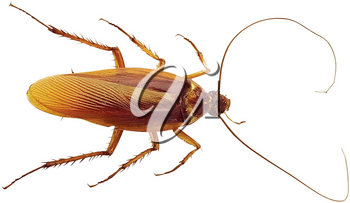 Royalty Free Photo of a Cockroach