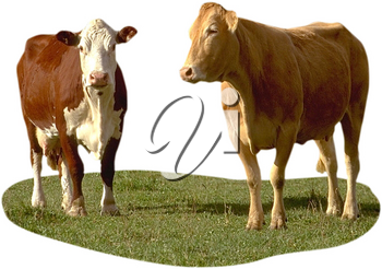 Royalty Free Photo of Cows Standing in a Pasture