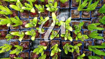 Top View on Young Hyacinths in Pots Sorted in a Row. Planting of a Young Hyacinth Plants High Angle View.