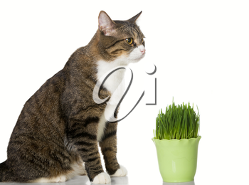 Grey cat and green grass, isolated on white